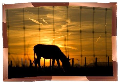 A mule in the evening